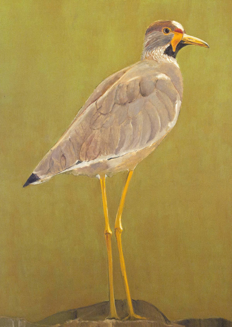 African-Wattled-Lapwing---full-apx